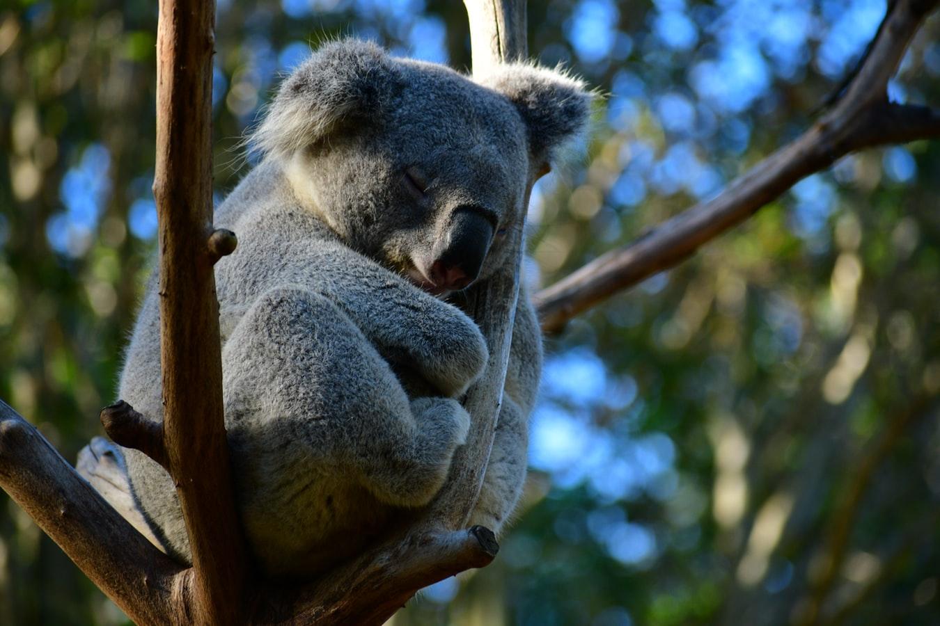 Un koala accroché à un arbre, dans la canopée australienne.