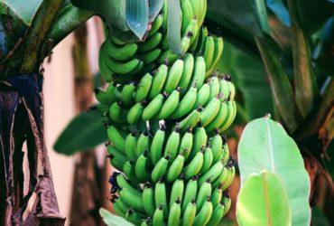 Une grappe de banane plantain dans un champ.